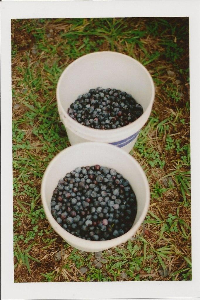blueberry4